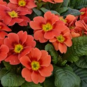 (23/04/2020) Primula 'Ringo Star Orange Red' added by Shoot)