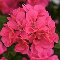Pelargonium 'Precision Rose' (Precision Series)