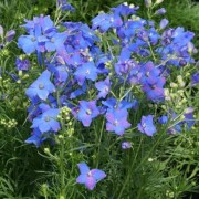 (28/04/2020) Delphinium grandiflorum 'Diamonds Blue' added by Shoot)