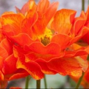 (01/05/2020) Ranunculus 'Rococo Orange' (Rococo Series) added by Shoot)
