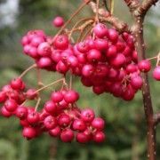 (11/05/2020) Sorbus vilmorinii 'Pink Charm' added by Shoot)