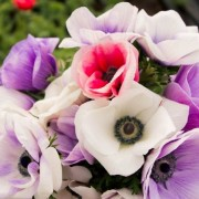 (13/05/2020) Anemone Galilee Pastel Mix added by Shoot)