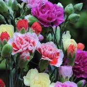 (14/05/2020) Dianthus Grenadin Group added by Shoot)