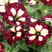 (22/05/2020) Petunia 'Lightning Sky' added by Shoot)