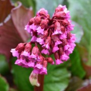 (28/05/2020) Bergenia 'Abendglocken' added by Shoot)