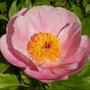 (28/05/2020) Paeonia 'Roselette' added by Shoot)