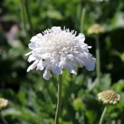 (29/05/2020) Scabiosa columbaria 'Flutter Pure White' (Flutter Series) added by Shoot)