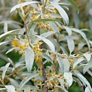 (08/06/2020) Elaeagnus commutata (any variety) added by Shoot)