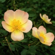 (10/06/2020) Rosa 'Lord Penzance' added by Shoot)