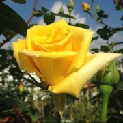 (11/06/2020) Rosa 'Spek's Yellow' added by Shoot)