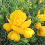 (11/06/2020) Ulex europaeus 'Flore Pleno' added by Shoot)
