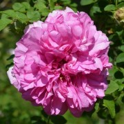 (11/06/2020) Rosa roxburghii added by Shoot)