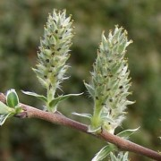 (23/06/2020) Salix repens added by Shoot)