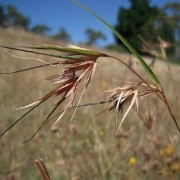 (25/06/2020) Themeda triandra added by Shoot)