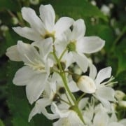 (29/06/2020) Deutzia 'Magical Silver Star' added by Shoot)
