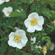 (02/07/2020) Rosa spinosissima (any variety) added by Shoot)