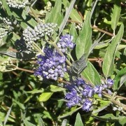 (08/07/2020) Caryopteris x clandonensis  added by Shoot)