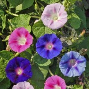 (08/07/2020) Ipomoea tricolor (any variety) added by Shoot)
