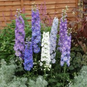 (16/07/2020) Delphinium (any variety) added by Shoot)