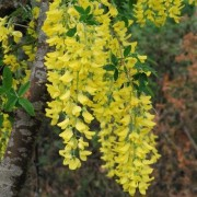 (16/07/2020) Laburnum (any species or variety) added by Shoot)