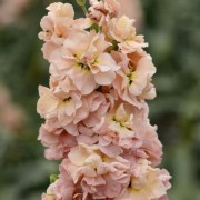 (17/07/2020) Matthiola 'Apricot' (Excelsior Mammoth Column Series) added by Shoot)