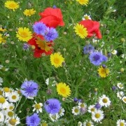 (21/07/2020) British Native Annual Cornflower Meadow Mix added by Shoot)
