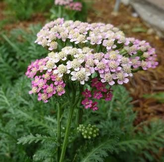 Achillea millefolium 'Milly Rock Rose'