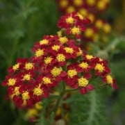 (21/07/2020) Achillea millefolium 'Milly Rock Red' added by Shoot)