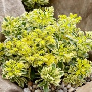 (22/07/2020) Sedum takesimense 'Atlantis' added by Shoot)