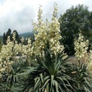 (23/07/2020) Yucca recurvifolia added by Shoot)