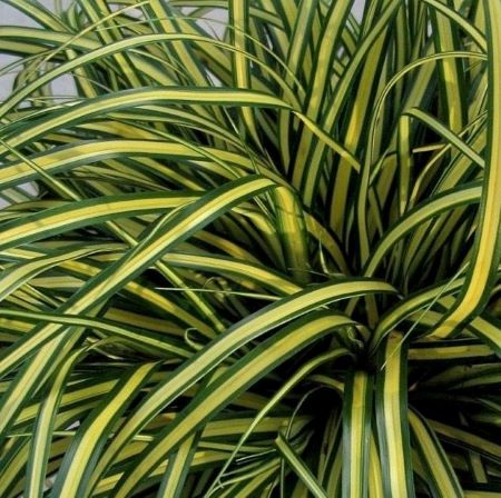 Carex oshimensis 'Everoro' (EverColor Series)