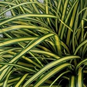 (23/07/2020) Carex oshimensis 'Everoro' (EverColor Series) added by Shoot)