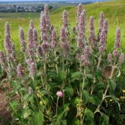 (31/07/2020) Stachys germanica added by Shoot)
