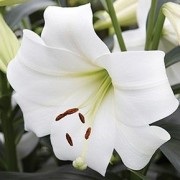 (25/08/2020) Lilium 'White Triumph' added by Shoot)