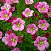 (26/08/2020) Saxifraga (Mossy Group) 'Pink Delight' added by Shoot)