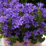 (28/08/2020) Campanula portenschlagiana 'Ambella Intens Purple' (Ambella Series) added by Shoot)