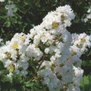 (01/09/2020) Lagerstroemia indica 'Nivea' added by Shoot)