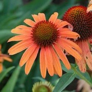 (01/09/2020) Echinacea 'Orange Passion' added by Shoot)