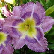 (15/09/2020) Hemerocallis 'Bobby's Lavender Eyes' added by Shoot)