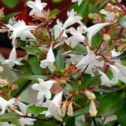 (22/09/2020) Abelia x grandiflora 'Prostrate White' added by Shoot)