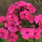 (26/10/2020) Phlox paniculata 'Younique Old Cerise' (Younique Series) added by Shoot)