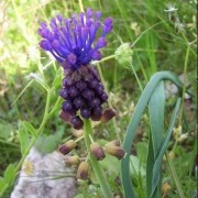 (23/11/2020) Muscari comosum added by Shoot)