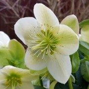 (29/12/2020) Helleborus x nigercors 'Winter Passion' added by Shoot)