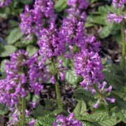 (11/01/2021) Stachys officinalis 'Ukkie' added by Shoot)