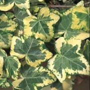 (11/01/2021) Hedera helix 'Golden Ingot' added by Shoot)