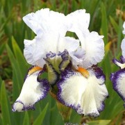 (12/01/2021) Iris 'Urluberlu' added by Shoot)