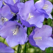 (19/01/2021) Campanula persicifolia 'Blue Bell' added by Shoot)