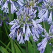 (27/01/2021) Agapanthus 'Celebration' added by Shoot)