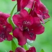 (03/02/2021) Alstroemeria 'Royal Velvet' added by Shoot)