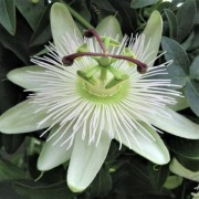 (03/02/2021) Passiflora 'Snow Queen' added by Shoot)